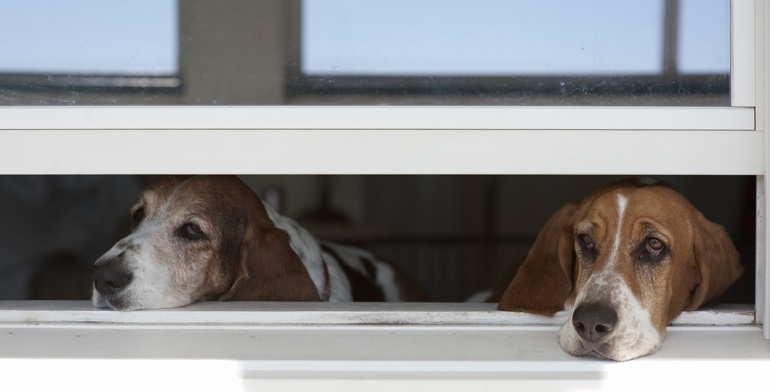 Beagles look out open window without window covering in Tampa.